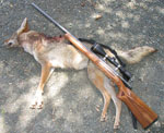 Guided Coyote Hunting